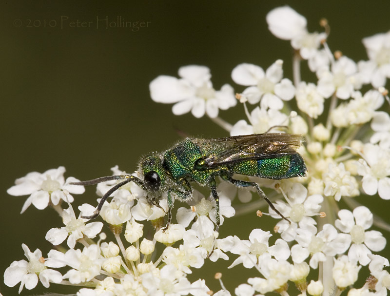 Green Wasp on Queen Annes Lace