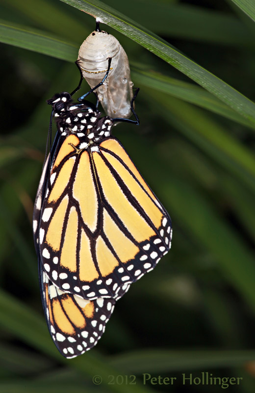 Monarch butterfly newly emerged from its chrysalis
