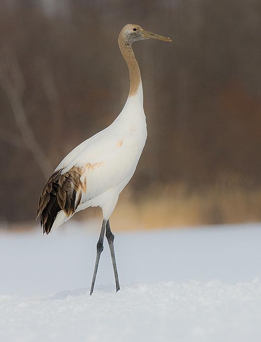 Japanese Red-crowned Crane,juvenile