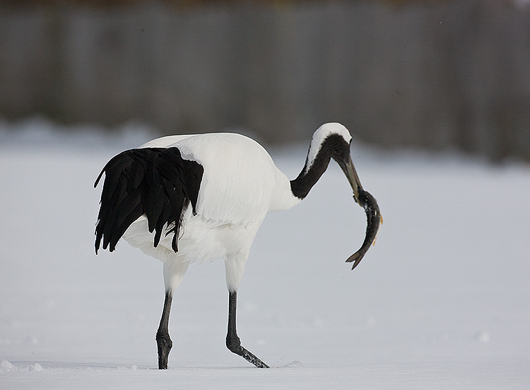 Japanese Red-crowned Crane eating