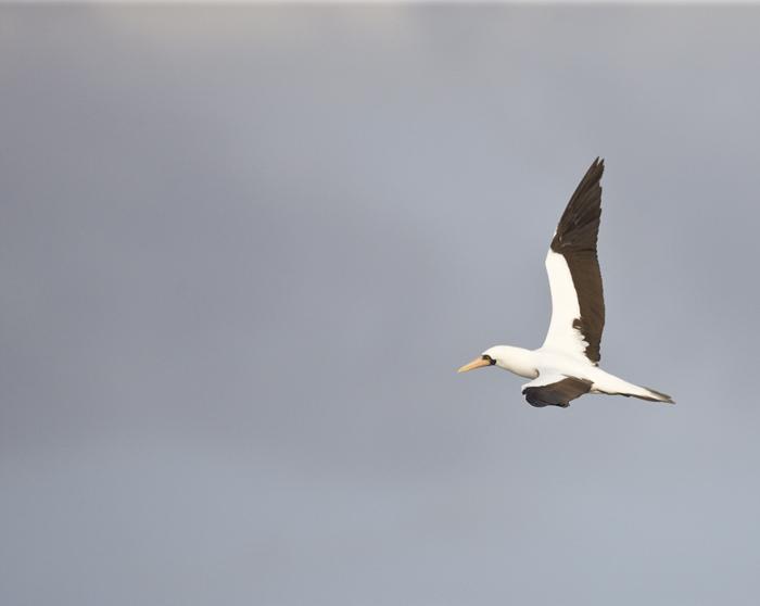 Nazca Booby in flight