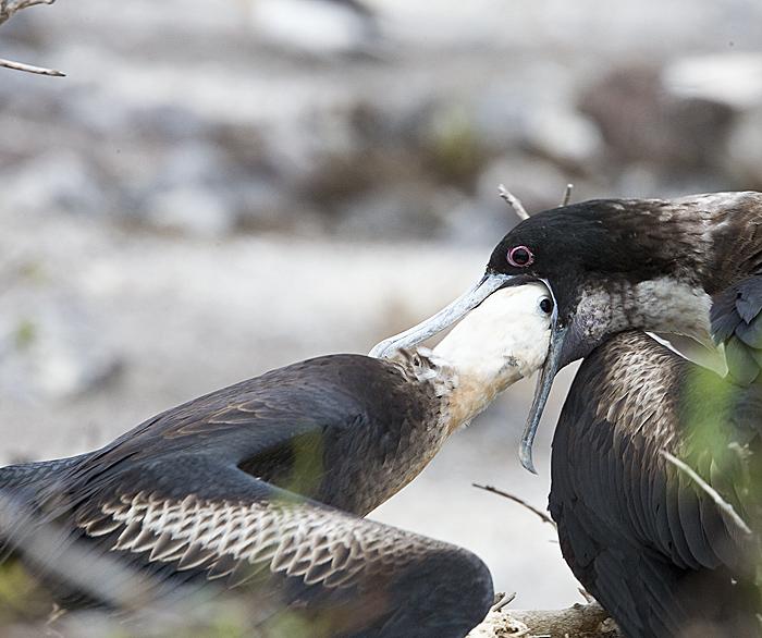 2.Great  Frigatebird,juvenile feeds from mom