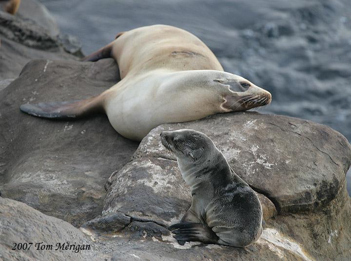 California Sea Lion baby and Mom