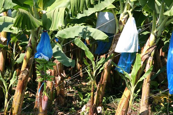 Detalle de las Plantaciones de Banano