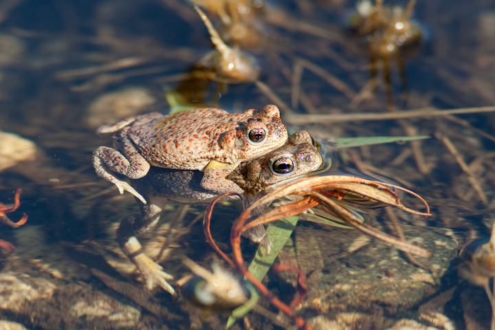 Red-spotted Toads