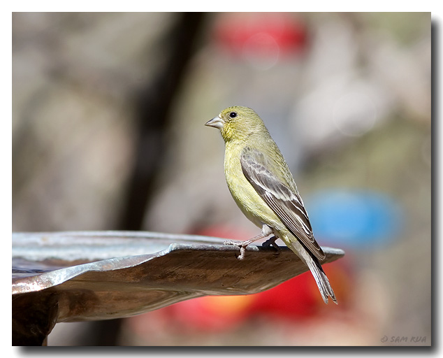Female Lesser Goldfinch at the Fountain