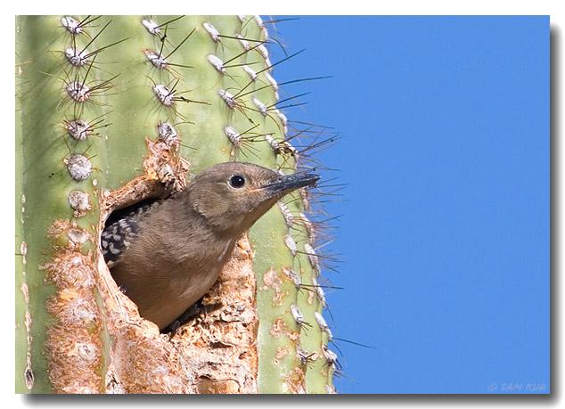 Gila Woodpecker (Juvenile)