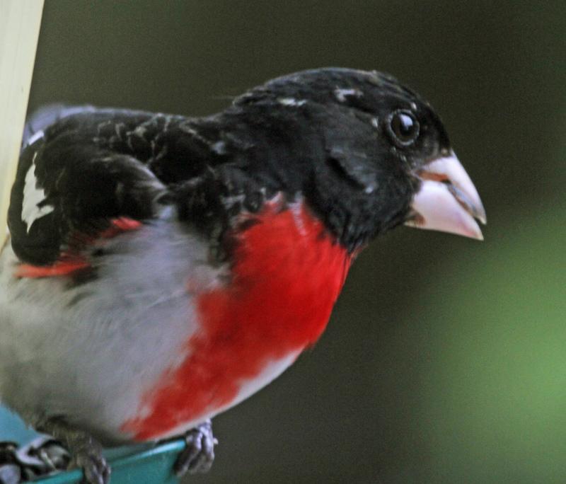 printemps_2012 05 04_0796--cardinal -800.jpg