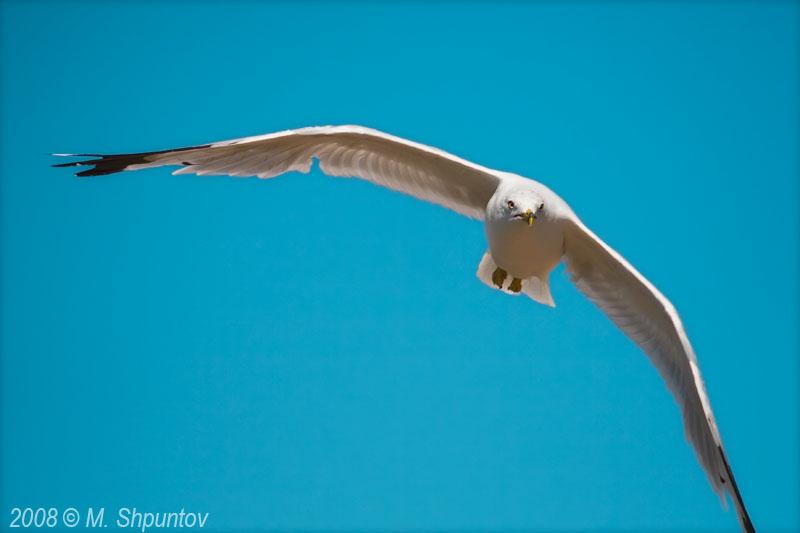 Gulls Attack #
