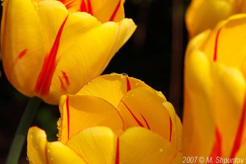 Tulips #1