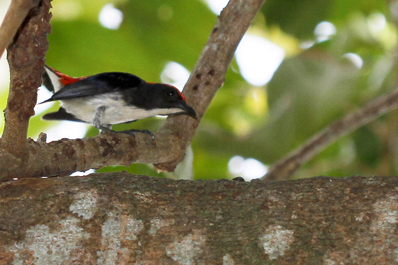 Scarlet-backed flowerpecker, male (5813)