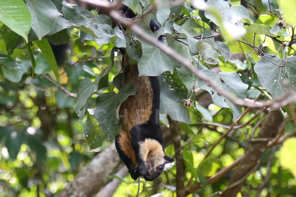 Squirrel feeding, Teluk Cempedak