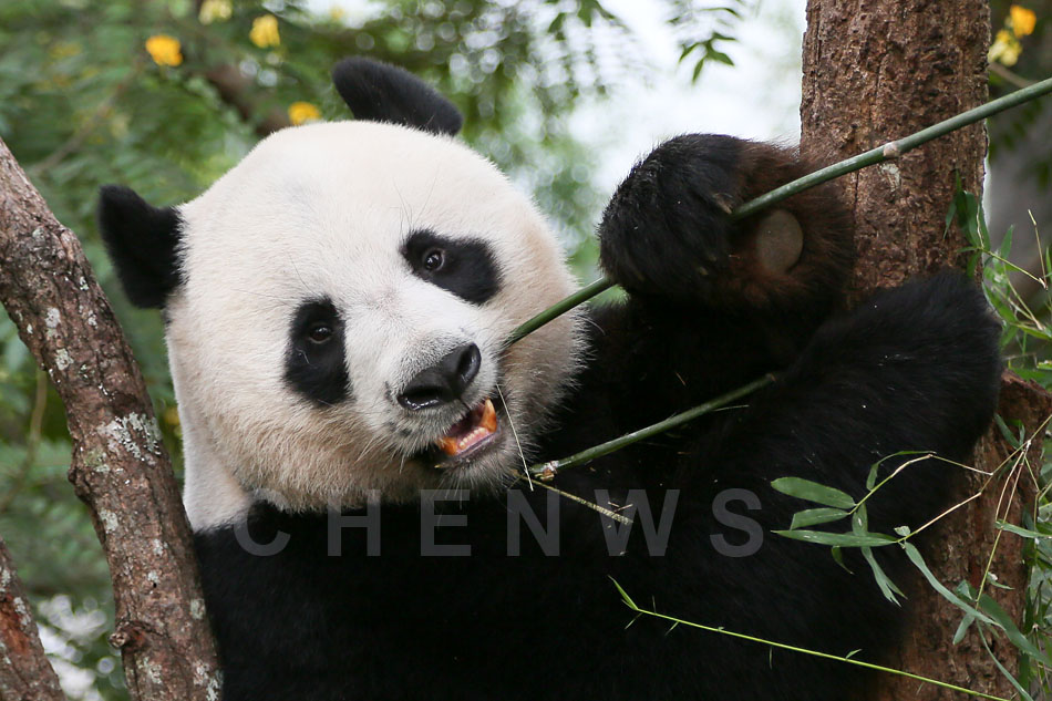Panda, Chiang Mai Zoo