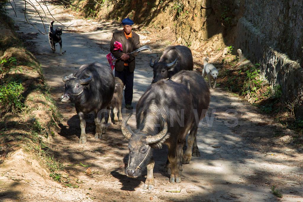 Herding buffaloes, MaLiZhai