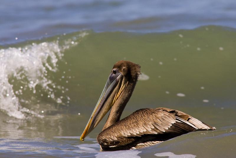 pelicano040208_1.jpg