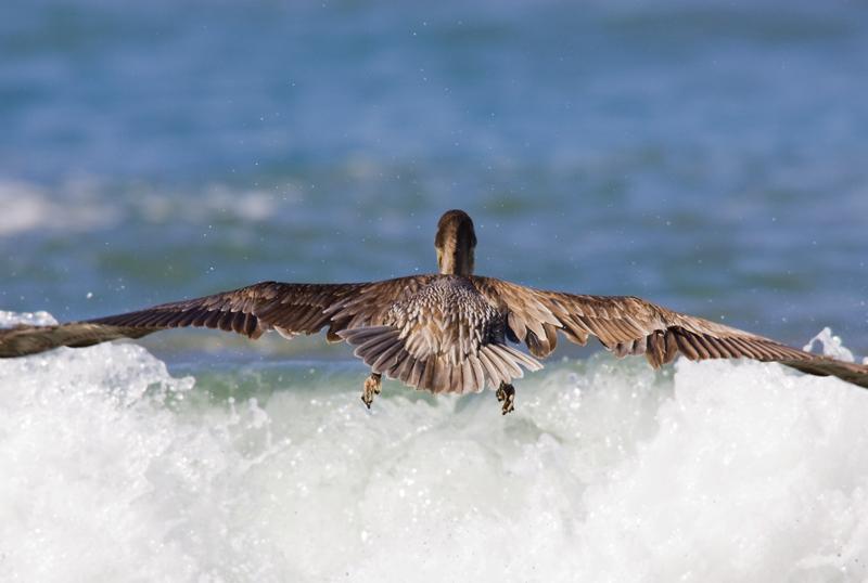 pelicano040208_2.jpg