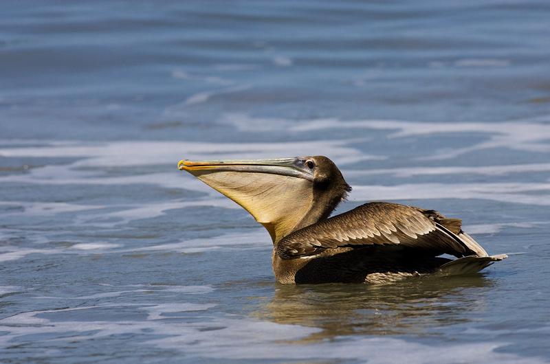 pelicano040208_6.jpg