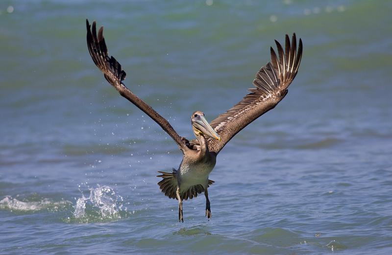 pelicano040208_7.jpg