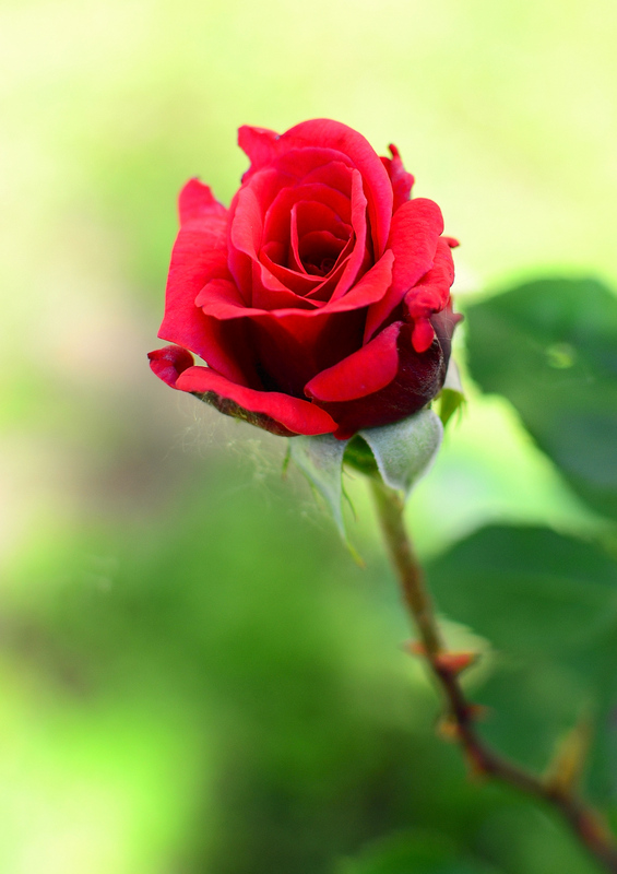 A red rose is dedicated to all women of this web site ... :-)