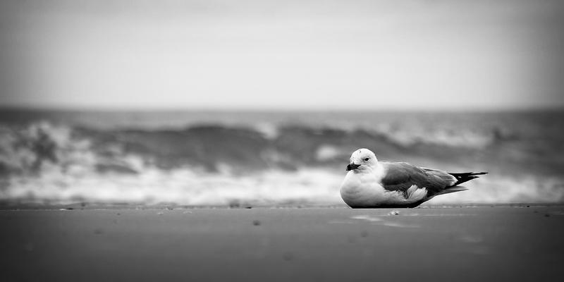 B&W Gull