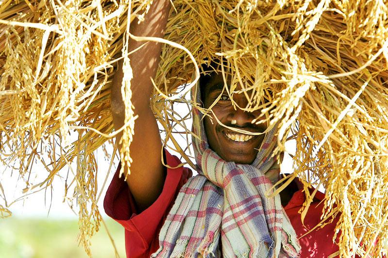 Joyful rice harvest.