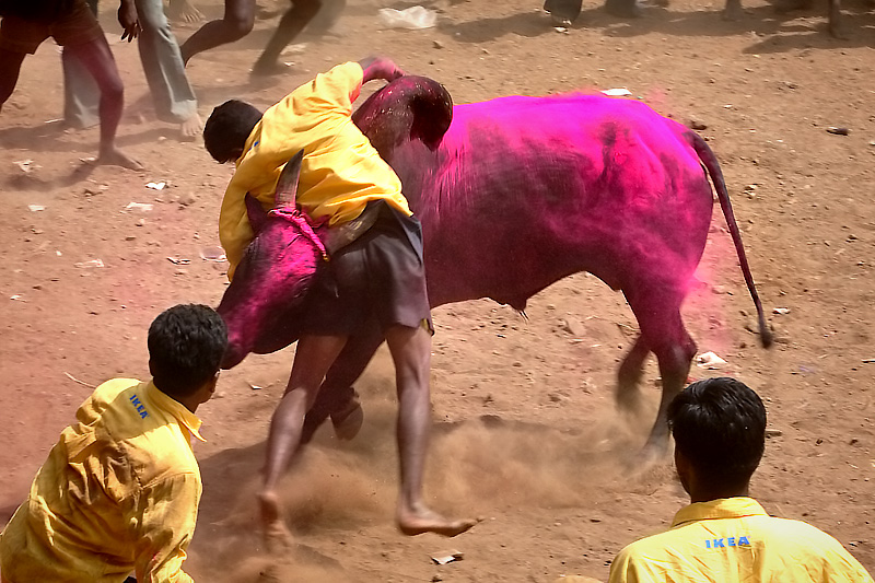 The purple bull