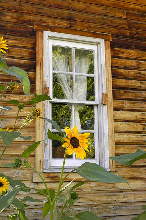 Window Sunflower
