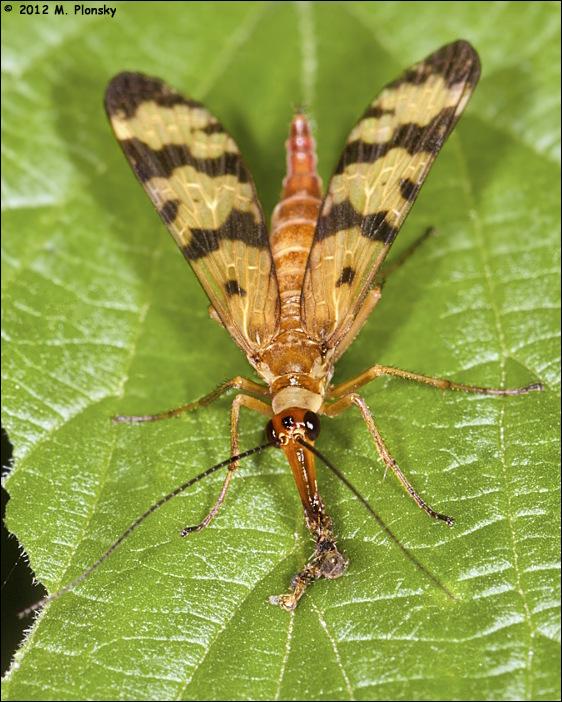 Scorpionfly (Panorpa communis)