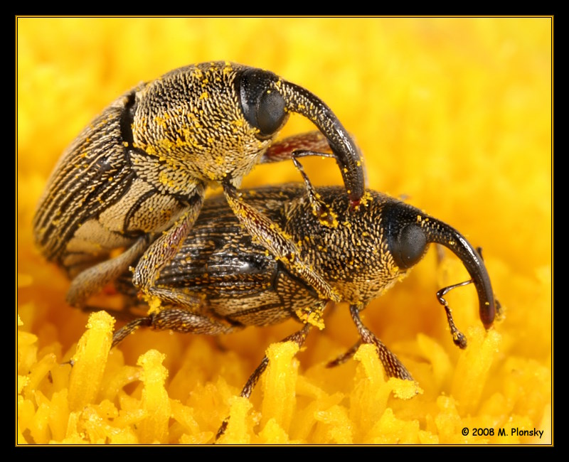 Weevils Mating on a flower