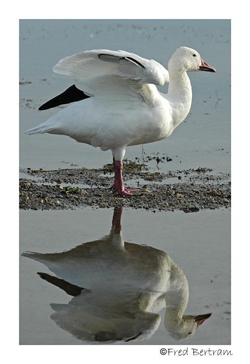 Snow Goose stretch