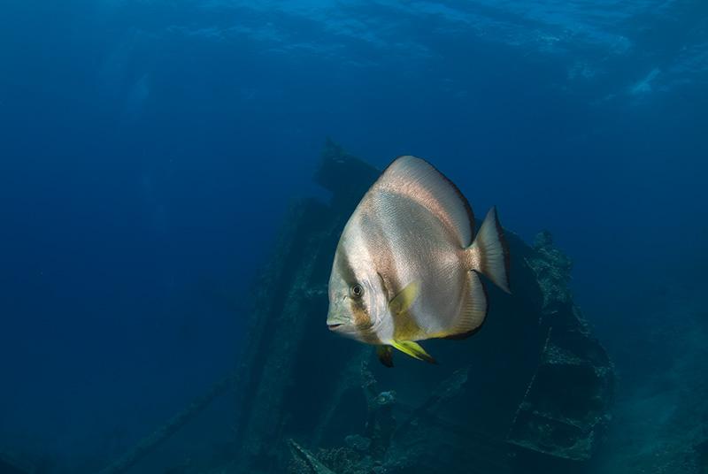 Batfish in the Gianis D.