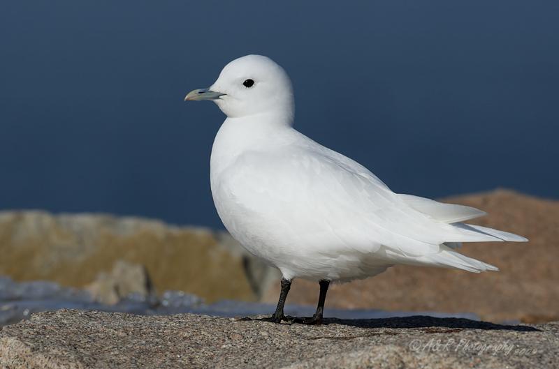 Ivory Gull 14 pb.jpg