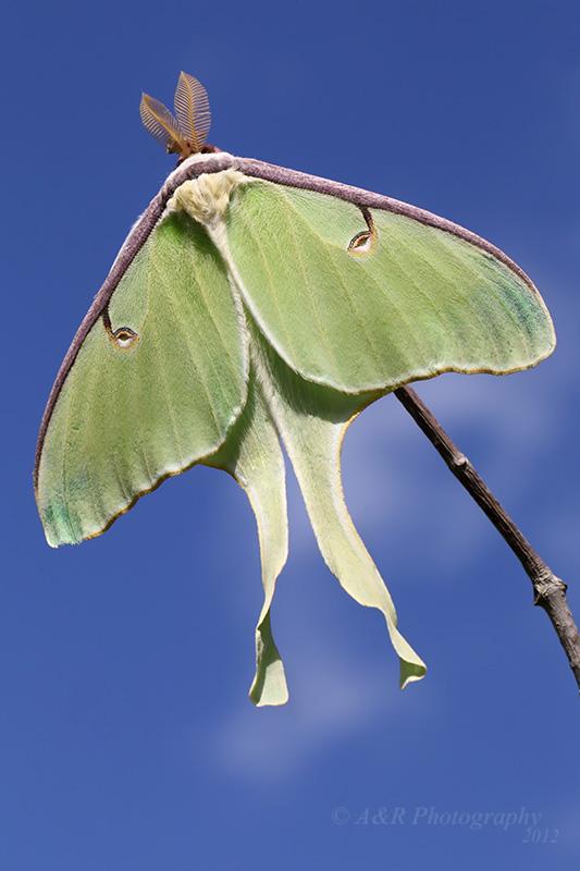 Luna Moth pb.jpg