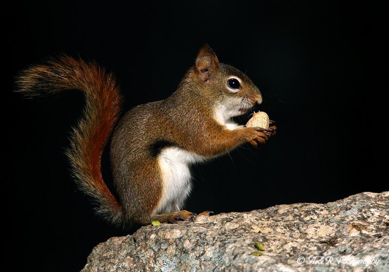 Red Squirrel pb.jpg