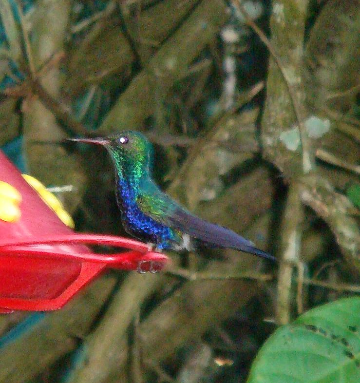 Violet-bellied Hummingbird