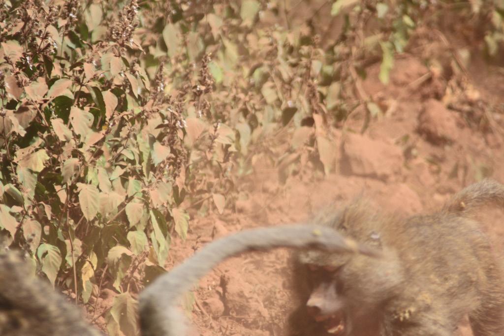 Baboon Chaos