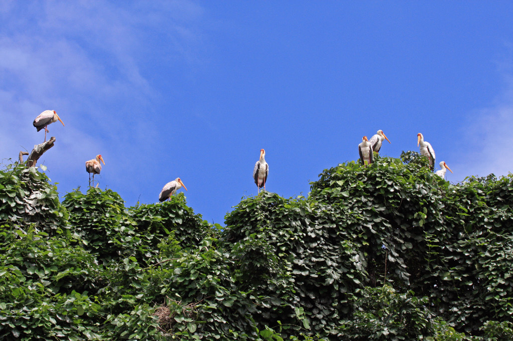 Yellow Billed Storks