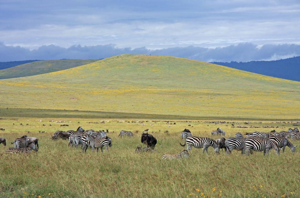 Zebras and Wildebeest