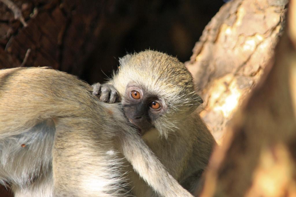 Young Vervet Monkey