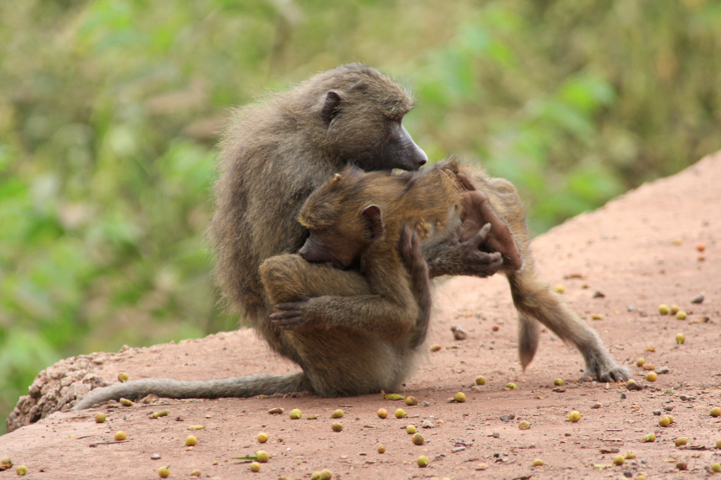 Young Olive baboons