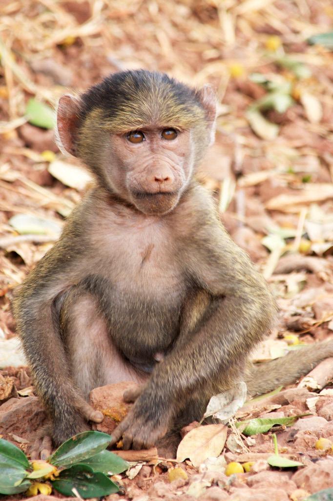 Juvenile Olive baboon