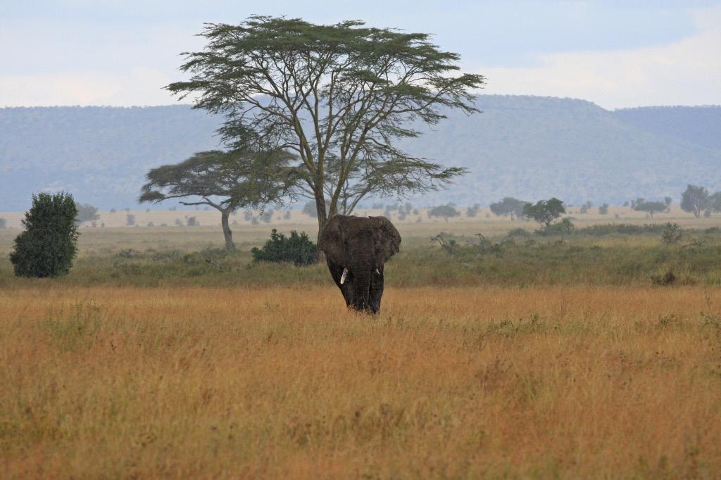Sauntering elephant