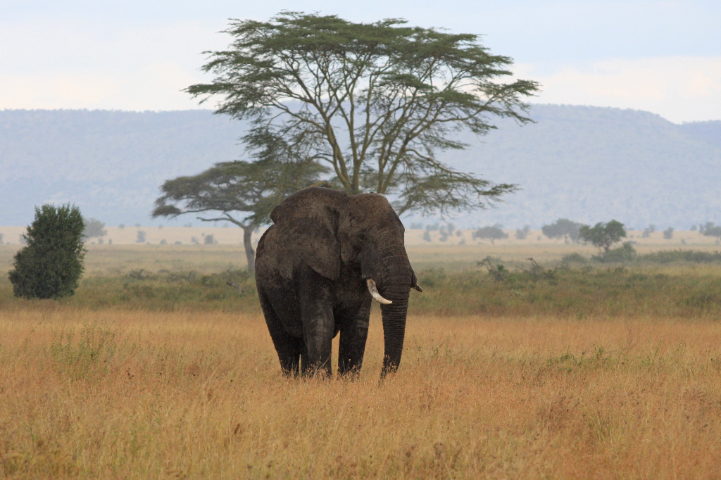Elephant spots dining lion.