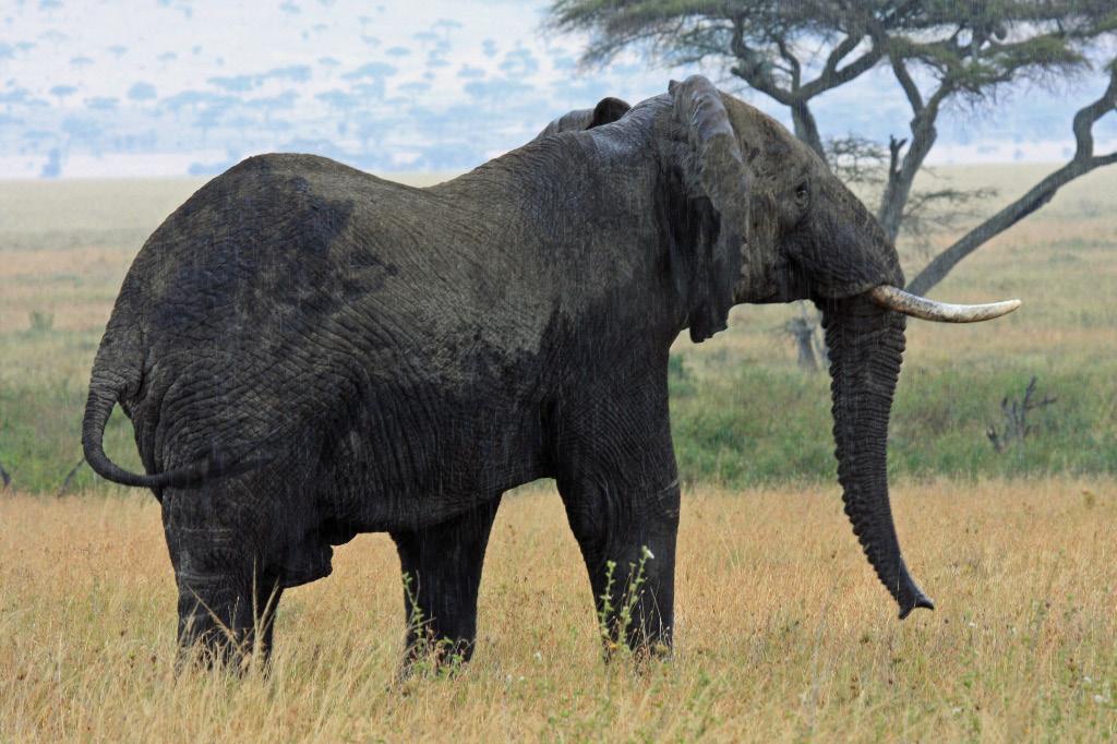 Triumphant elephant