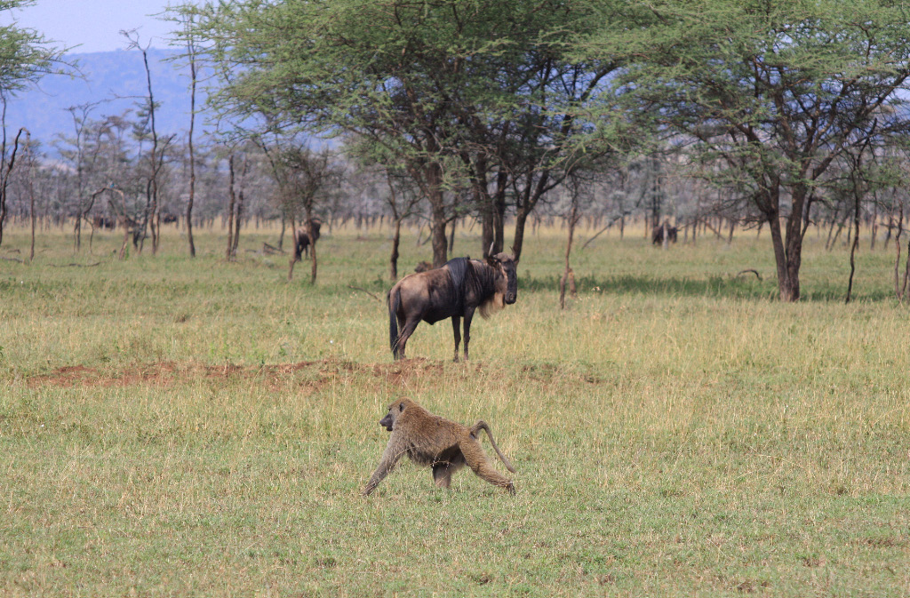 Baboon and wildebeest