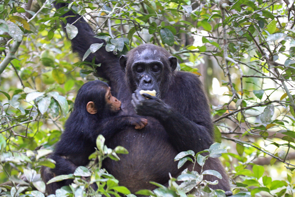 Female Chimpanzee with Infant