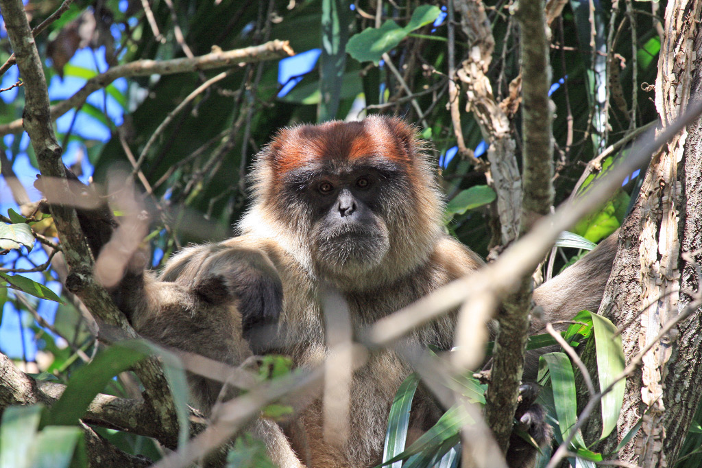 Red Colobus?
