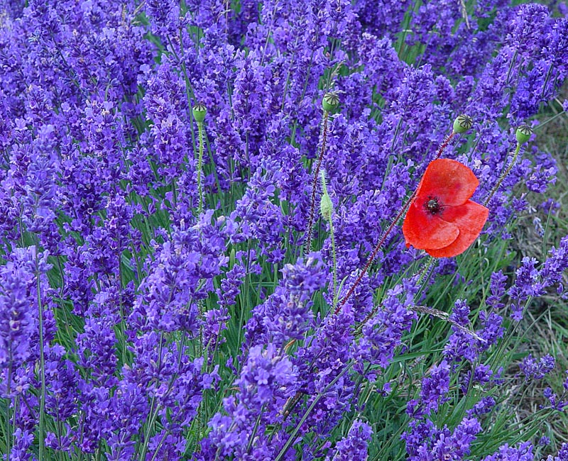 Lavender and Poppy
