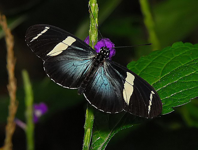 Sara Longwing or Small Blue Grecian