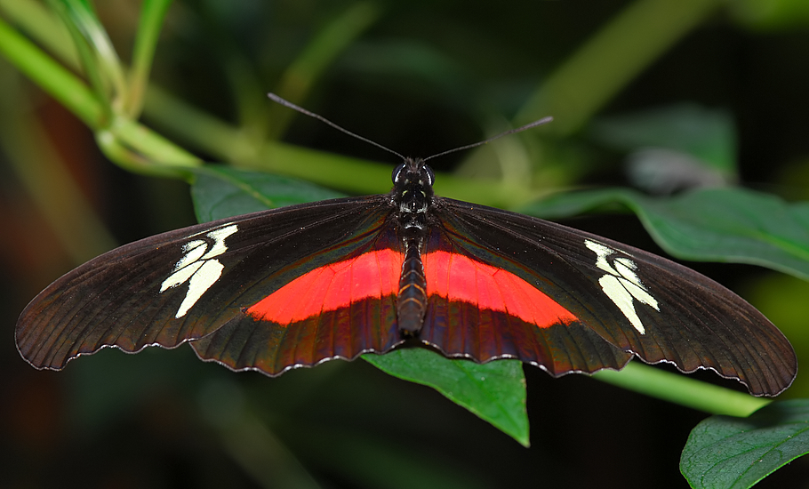 Mexican Heliconian (aka Hortense Longwing or Mountain Longwing)